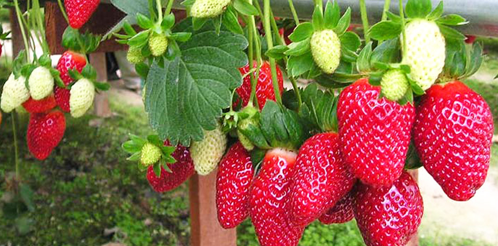 dalat-farm-strawberry